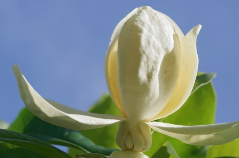 Magnolia_thomsoniana